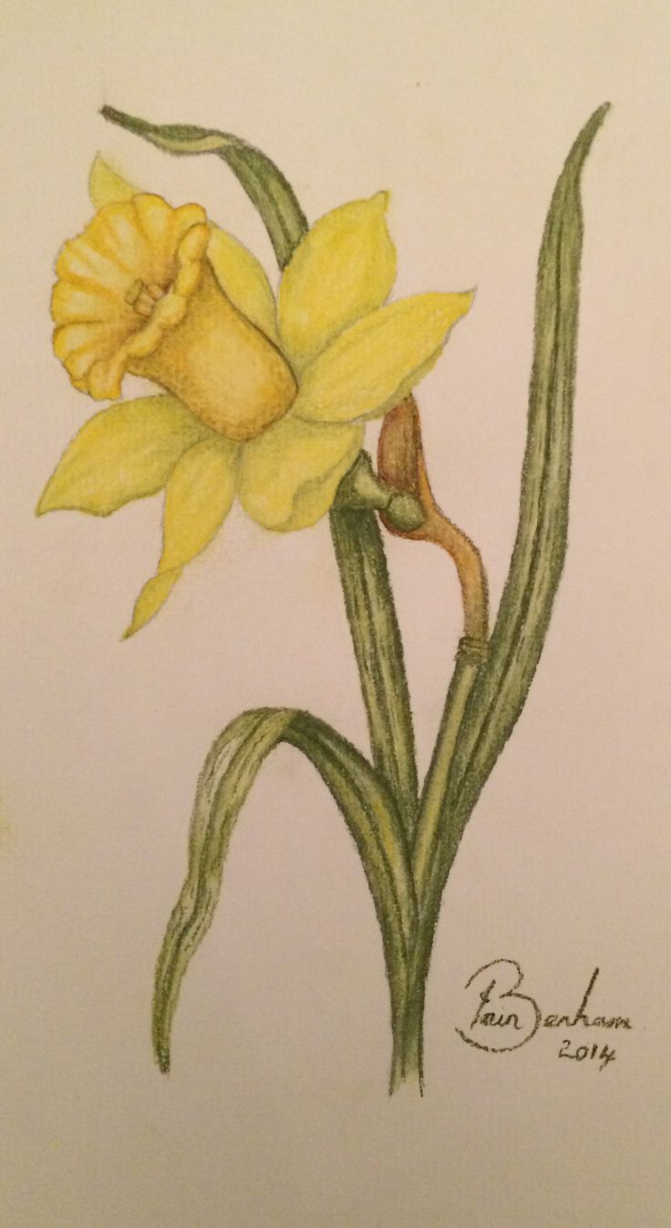 Drawn daffodil Of pencil Pastel images best