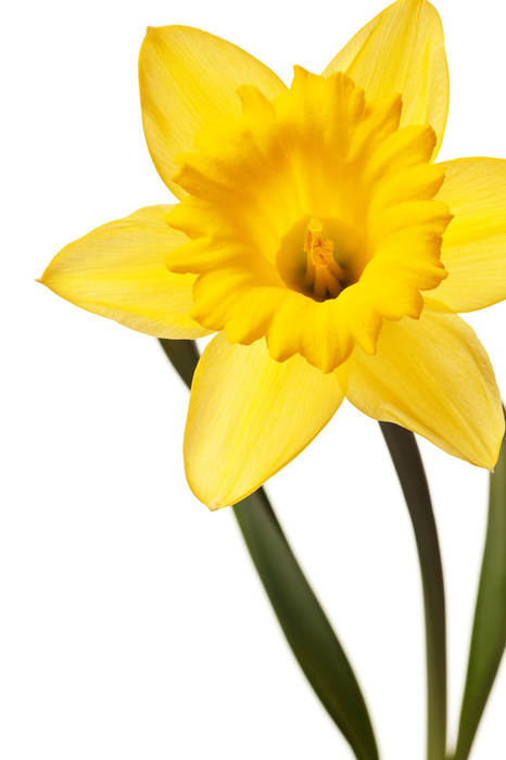 Wales clipart narcissus flower Newsletter Com Biltongmakers  2011