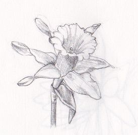 Drawn daffodil Daffodil Flower Daffodil on images