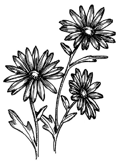 Drawn weed needle Daisy You learn Gallery Flower