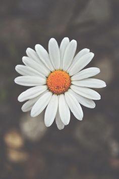 Drawn daisy indie flower #5