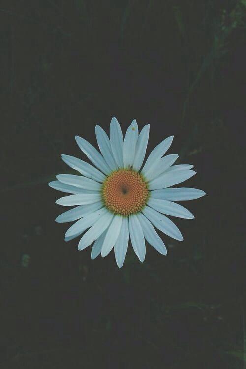 Drawn daisy indie flower #8