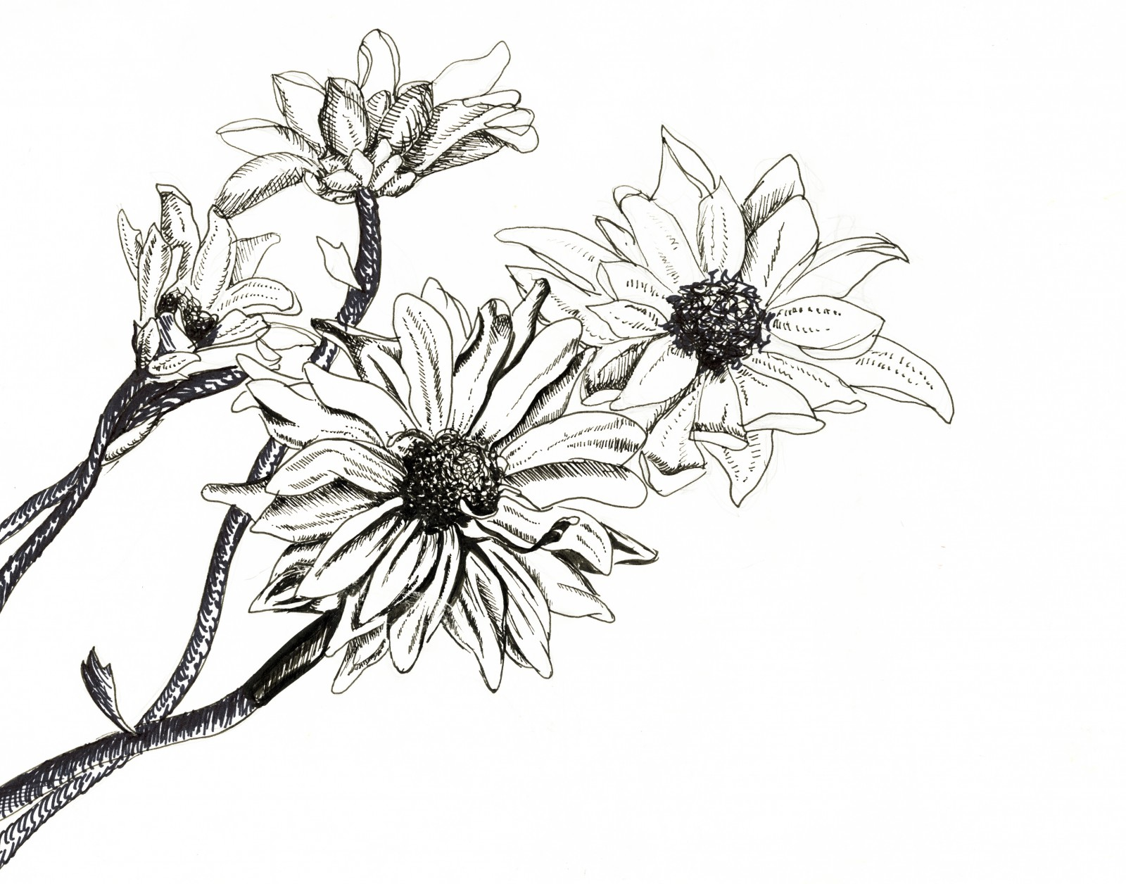 Drawn rose bush pen and ink Pinterest Google pen crafty drawing