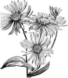 Drawn daisy realistic Drawing Daisy & Drawing