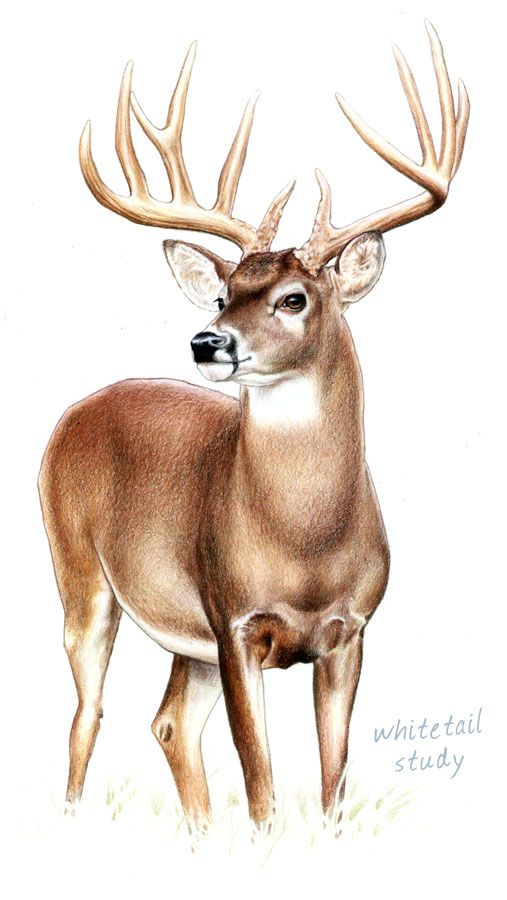 Drawn reindeer color DrawingDrawing Pinterest com 25+ by