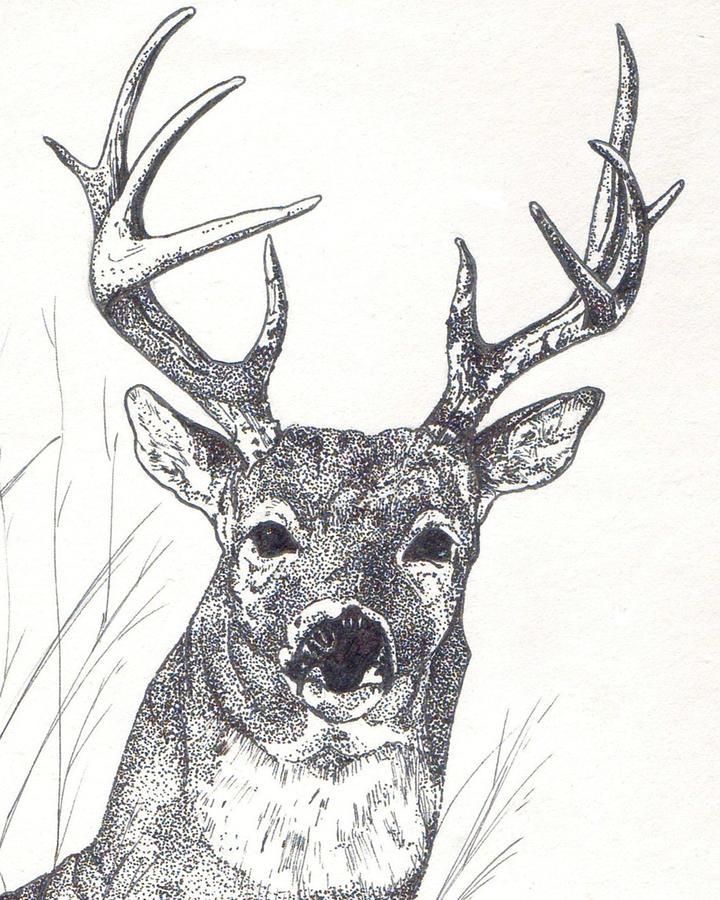 Drawn buck white tailed deer Whitetail Big Buck Buck by