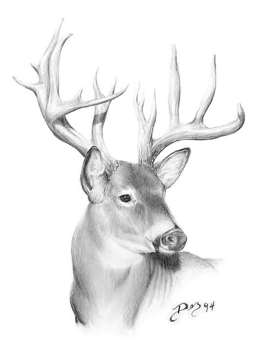 Drawn buck white tailed deer Use below Board Draw to
