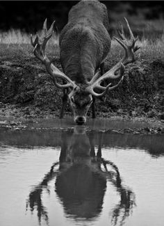 Drawn buck drinking water Red and Pin Googlem Hunting