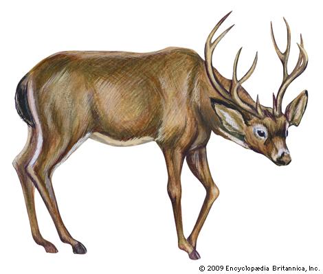 Drawn buck eating Mammal Black tailed mule com