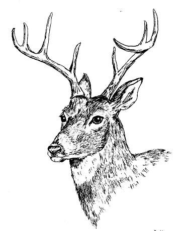 Drawn reindeer pen and ink Best on Find to Pinterest