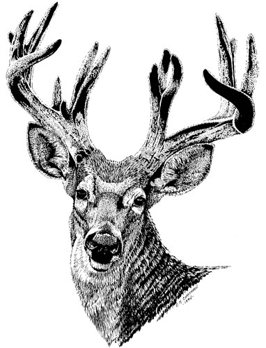 Drawn buck pen and ink Pet whitetail drawing buck Christman