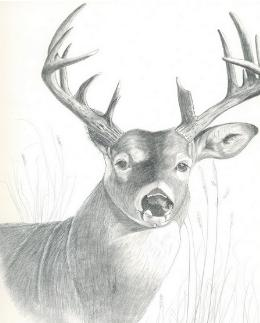 Drawn buck pencil sketch In Drawings Realistic Pencil And