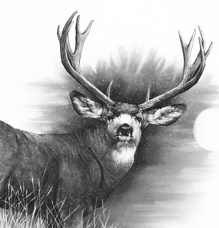 Drawn buck pencil sketch Types deer Pencil Drawings: pencil