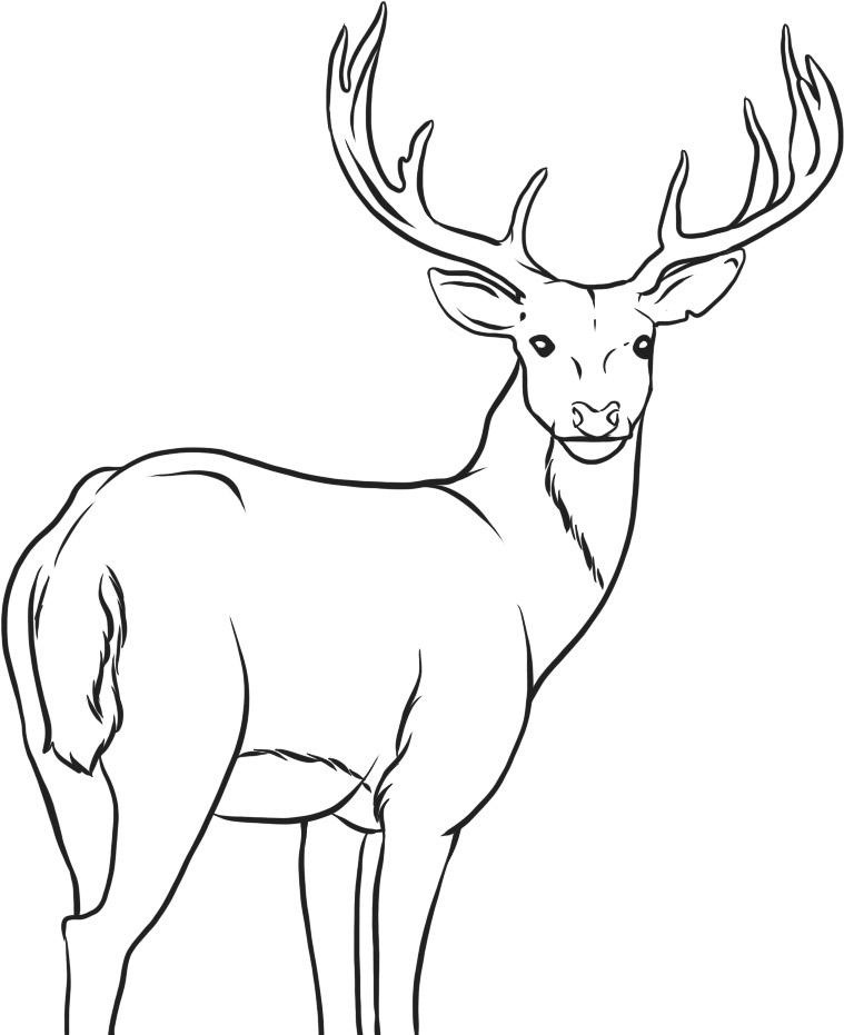 Buck clipart coloring page Coloring For Pages Coloring Page