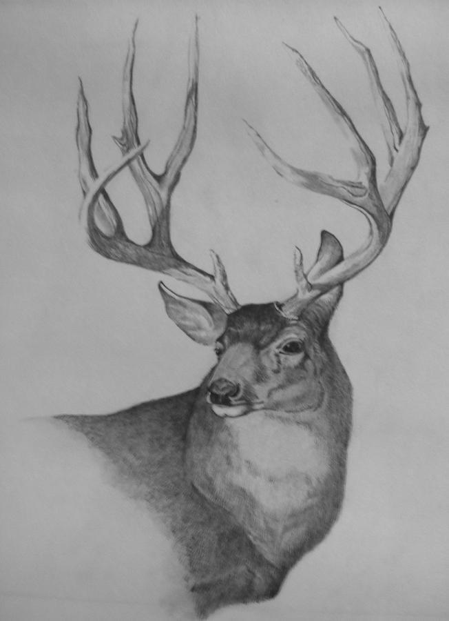 Drawn buck big buck Deer Mule drawing Buck Deer