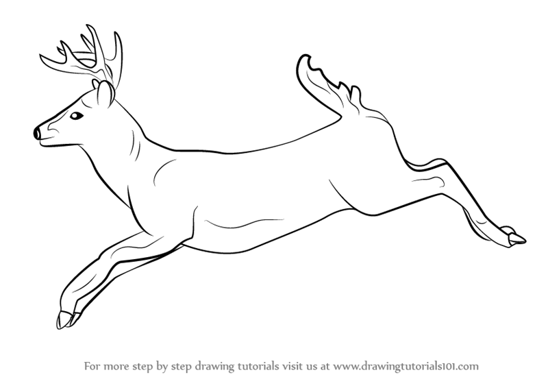 Drawn buck white tailed deer Learn Draw Draw Animals) a