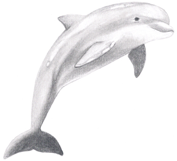 Drawn dolphins A Draw How Dolphin to