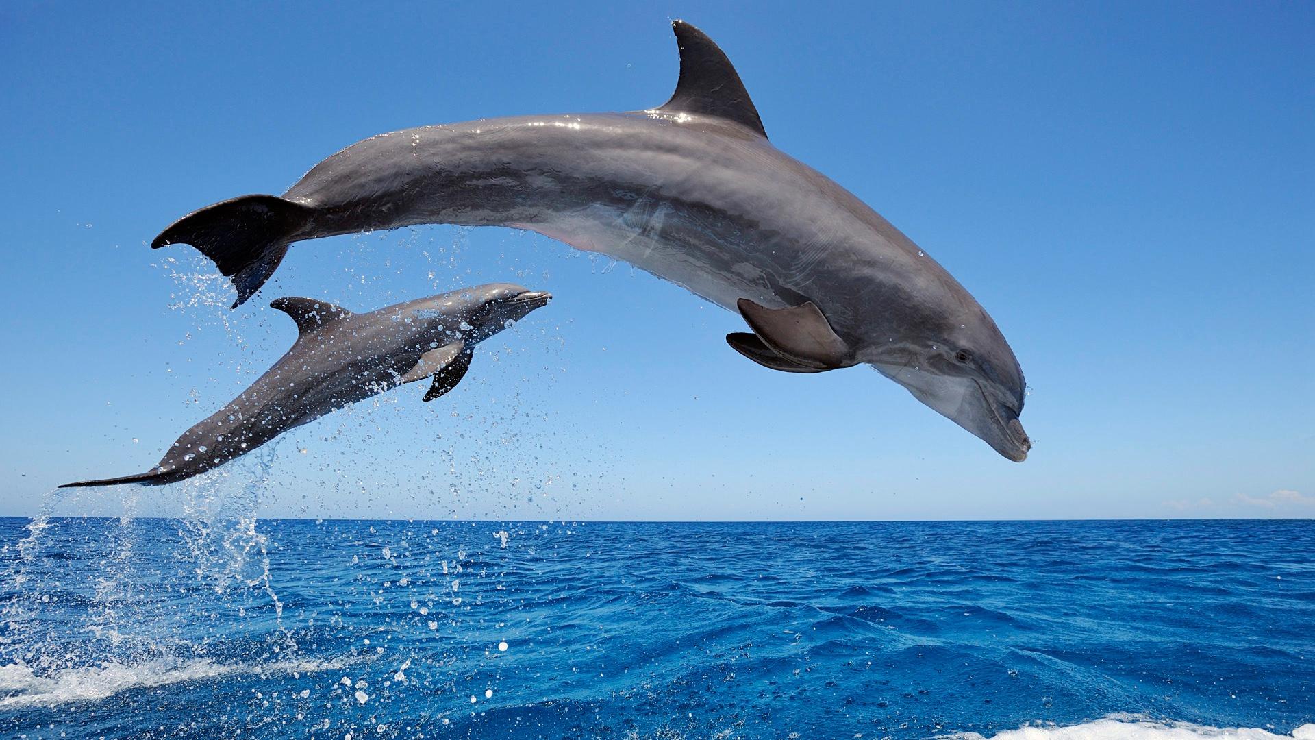 Bottlenose Dolphin clipart drawn #2