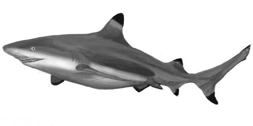 Drawn sea life shark Realistic Animals Draw to Sea