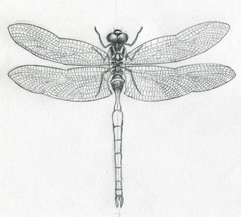 Drawn dragonfly Click enlarge the image Drawings