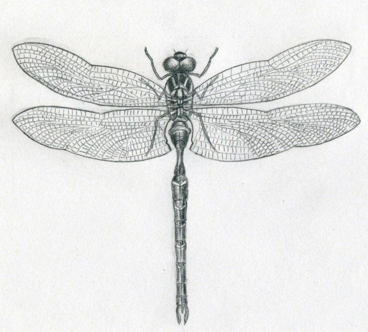 Drawn dragonfly Why 25+ Transitions the Dragonfly?