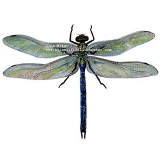 Drawn samurai dragonfly Dragonfly dragon Darner colored pictures