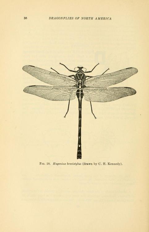 Drawn samurai dragonfly C Scientific Kennedy) Hagenius /