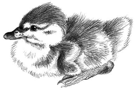 Drawn duckling Workbook Pencil Wildlife Drawings: Duckling