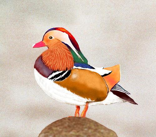 Mandarin Duck clipart Mandarin Google  Search mandarin
