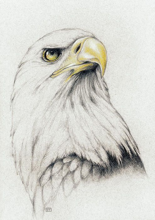 Drawn eagle Drawing Eagle Bald on Bald