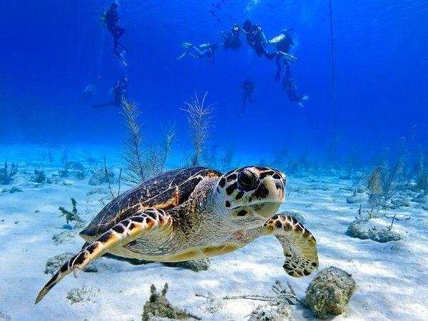 Drawn eiland grand cayman 4/10/14 Pinterest Cayman Barrier Turtle:
