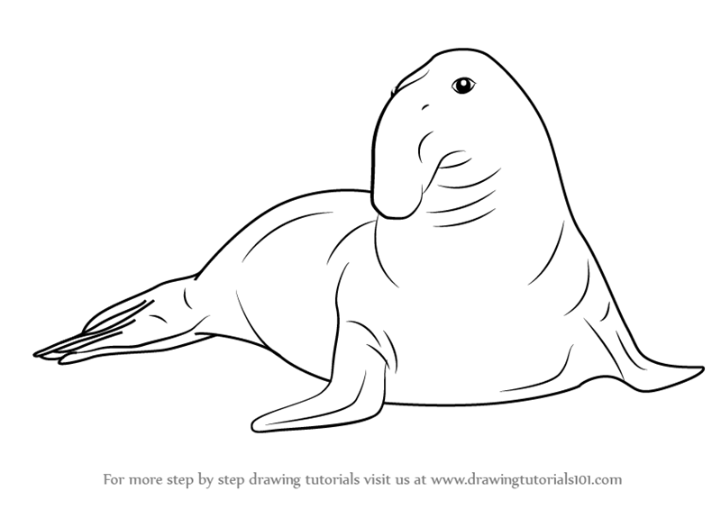 Drawn elephant seal (Seals) Southern Step to How