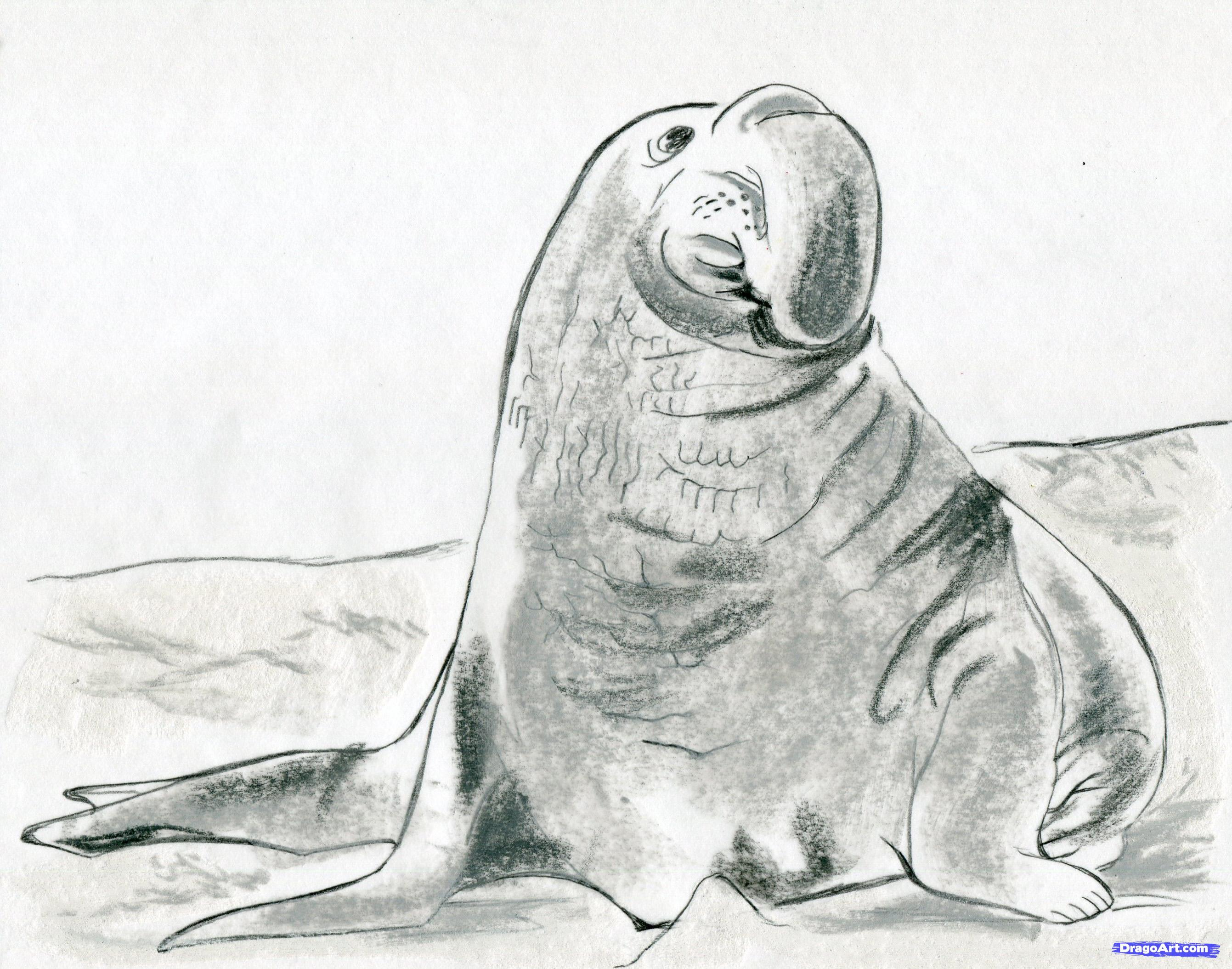 Drawn elephant seal Realistic seal step draw to