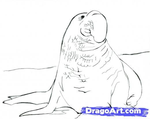 Drawn elephant seal Realistic Seal 17 Draw to