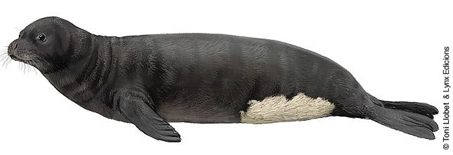 Drawn elephant seal The » Llobet Toni illustrated