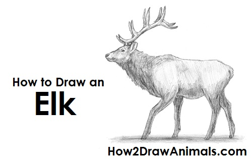 Drawn elk How Draw Elk an to