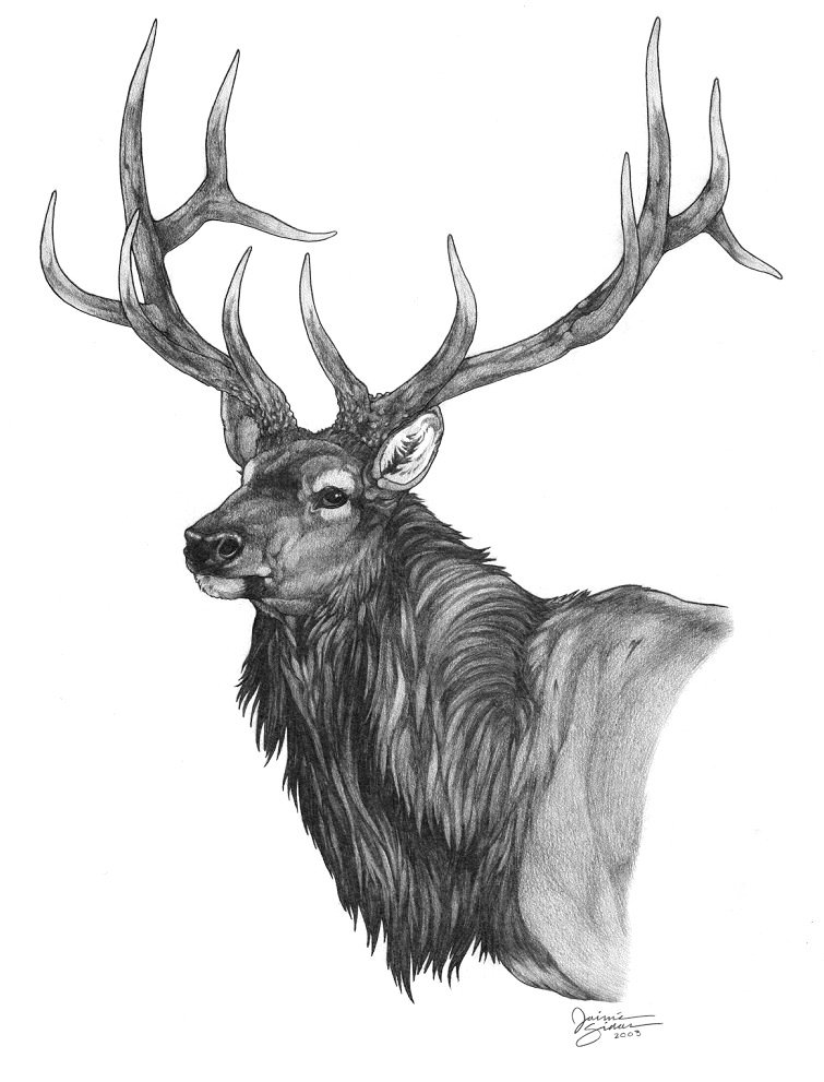 Drawn elk  pencil of bull elk