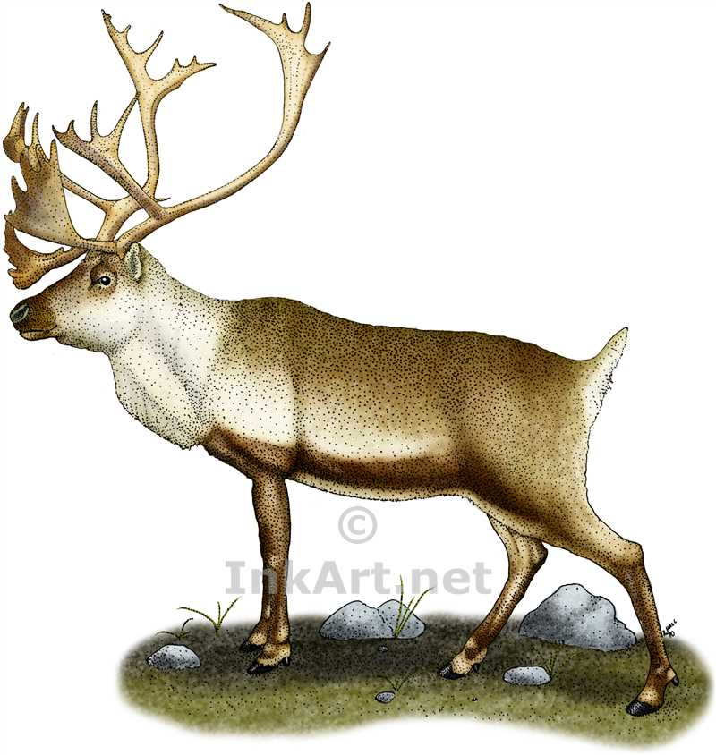 Drawn reindeer caribou Or Illustration art color illustration