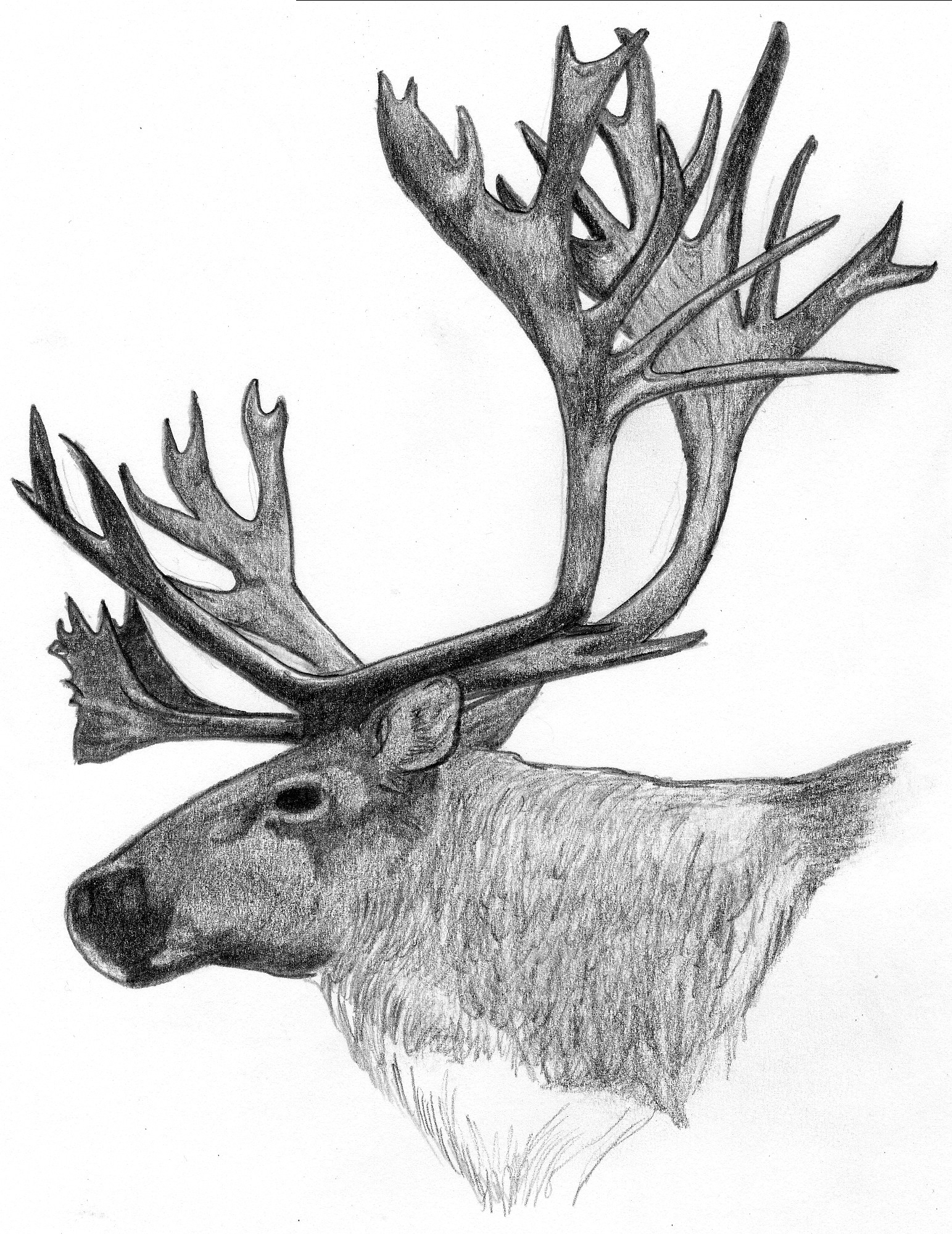 Drawn reindeer caribou Inspiration antlers antlers Drawing: References
