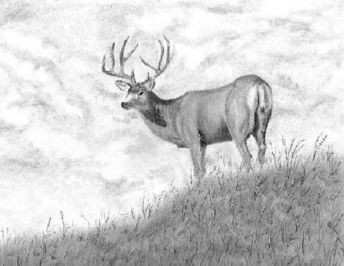 Drawn buck white tailed deer  Buck completed Deer [Archive]