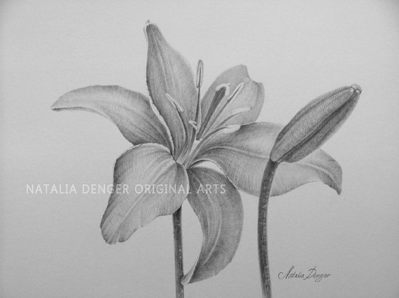 Drawn still life lily Grey MATTED Flowers Lilies 16x20