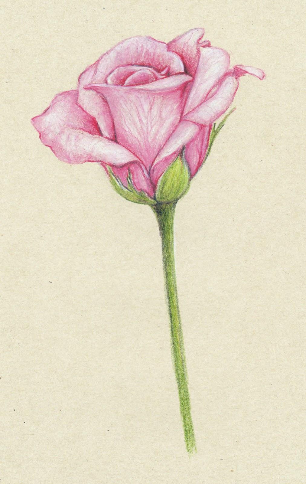 Drawn rose bush color shading Things pink of pencil