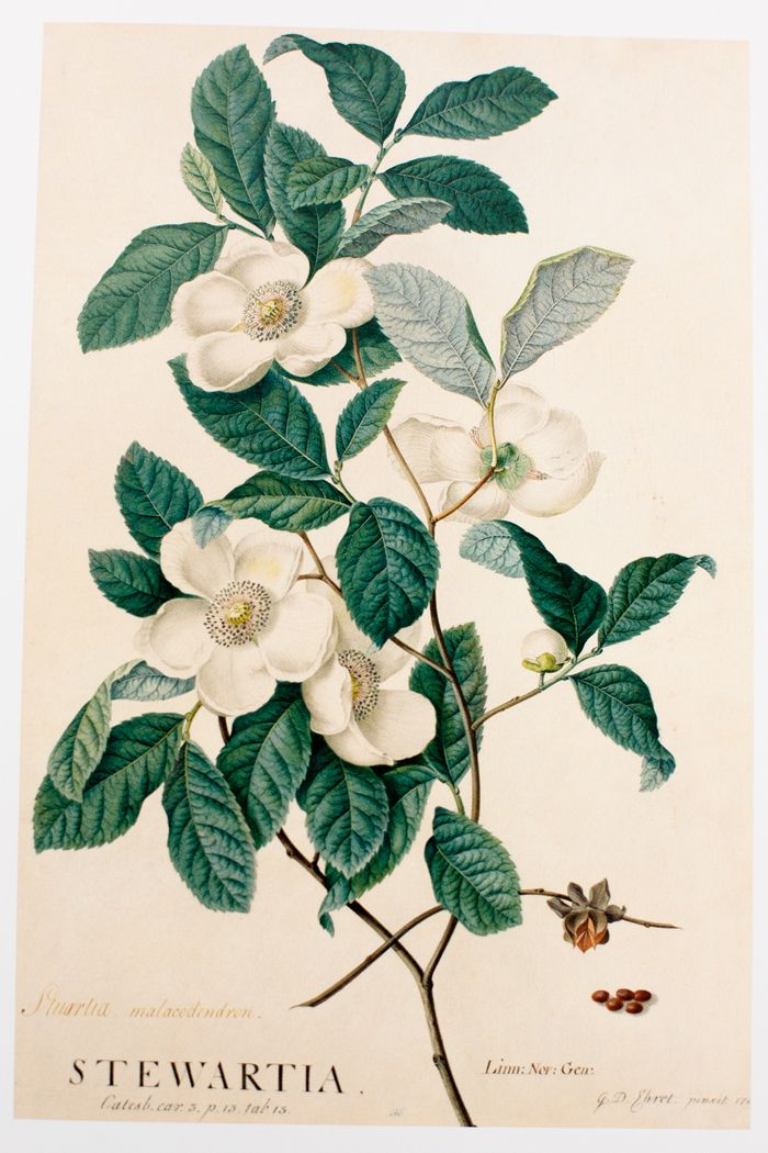 Drawn rose bush old fashioned flower Best prints 25+ especially fruit