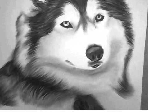 Drawn animal husky #8