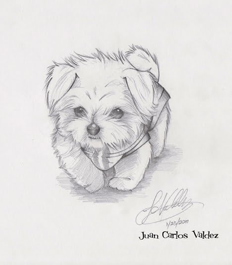 Drawn puppy medium level Puppy Maltese dog  Maltese