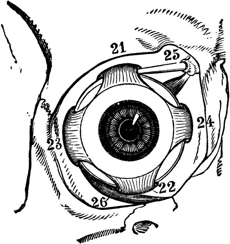 Amd clipart eye Best # of Pinterest anatomy
