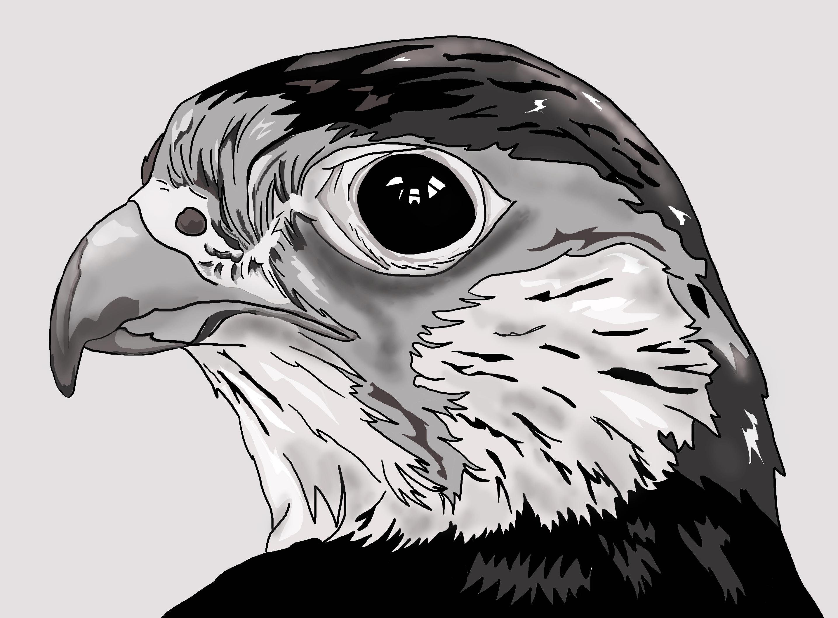 Drawn falcon Head Head Drawing photo#12 Falcon