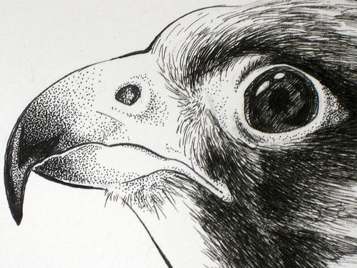 Drawn falcon Ink of Prey ink Birds