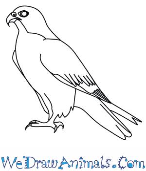 Drawn falcon To Falcon Peregrine Draw a