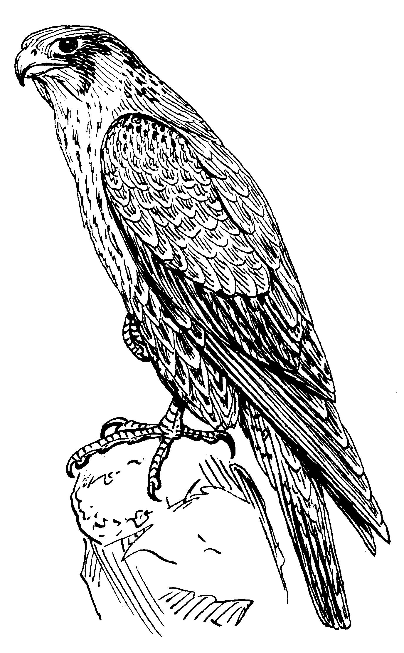 Dead clipart falcon Peregrine falcon Drawings File:Peregrine File:Peregrine